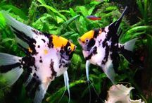 Anglefish / Learn all you need to know about keeping breading and raising healthy Tropical Fish!  Aquarium Fish Advisor is your headquarters for knowledge on tropical fish and their successful life in an aquarium.