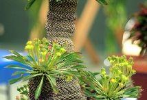 Euphorbia / #euphorbia #euphorbe # caudex #cactus