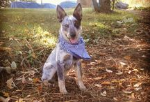 Must Love Heelers! / Love all dogs! Heelers are the best!  Pistol Petey,Annie May, Roxy Girl and Brady Bunch are mine!  / by Marie Hoffman
