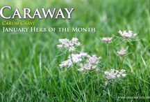 Caraway / The Herb Society of America's Herb of the Month for January 2014. / by Herb Society of America