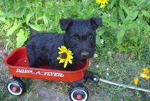 Scottie (Scottish terrier / Cute