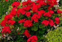 Flori, arbuști de ghiveci sau gradina