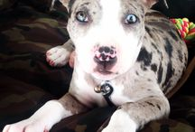 Pitbull puppy merle