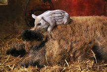 Mule Foot Hogs