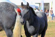 Chevaux / Les chevaux de trait