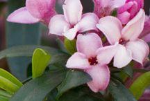 Arbustes parfumés
