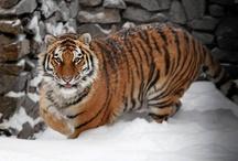 Tiger / Nydelig