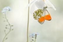 SchMetti´S Butterfly