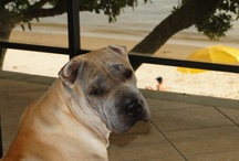 Sharpei Dogs - Cães Shar Pei / Sharpei Dogs - Cães Shar Pei
