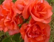 Roses / Fabulous scents, interesting colours, wonderful roses