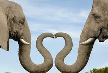 ELEPHANTS / MY ♥ OF ELEPHANTS BEGAN AS A CHILD,AND I MEET A WONDERFUL ELEPHANT NAMED AKIALI,SHE REMEMBERED ME AFTER MANY YEARS....MAY HER AND HER OWNER,DOTTY OLSEN R.I.P.