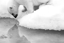 ANIMAL | POLAR BEAR