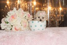 teacuppuppiesstore / Teacup puppies store, teacup puppies store, teacup puppies store, teacup puppies store, teacuppuppiesstore, teacuppuppiesstore.  / by Puppies For Sale Site.com