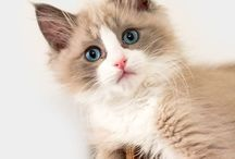 CAT BREEDS / On this board, I will post different Cat Breeds as I find them. If you would like to join this board, email me at jeanne@animalbliss.com   Enjoy!