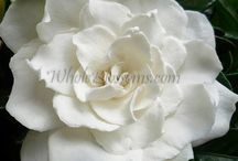Wholesale Wedding Flowers / Whole Blossoms offers a great variety of flowers for your wedding decorations and flower arrangements. Our social media: Facebook: https://www.facebook.com/WholeBlossoms Twitter: https://twitter.com/wholeblossoms / by WholeBlossoms Wholesale Wedding Flowers