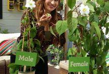 Growing kiwifruit rootstock