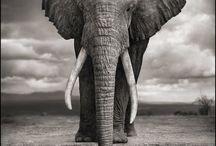 savingthewild.com - stories / Saving the Wild #Africa #elephants #rhinos #poaching #extinction