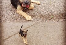 Borderterrier and dog training / My dog is my best world