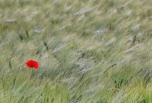 Happy poppies / Jolis coquelicots, légèreté, fragilité, féminité...
