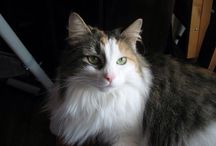 Norwegian  forest cat / Norvegian forest cat photo