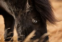 Icelandic Horses : more than just a pony!