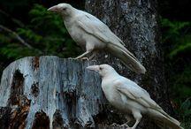 Ptáci - krkavci, havrani, vrány, straky, sojky - nezvyklé zbarvení