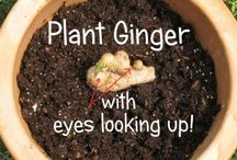 ginger how to grow