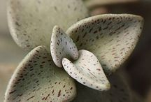 Sukkulente-Lenophyllum guttatum