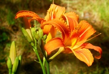 Tiger Lilies & friends / by Jean Joachim, Author
