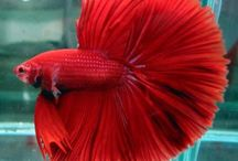 Betcha It's a Betta! / Fish - Males will fiercely fight other males.