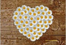 Sunny side up daisies