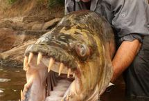 Fishing / Jeremy Wade Goliath Tiger Fish Congo / by Jeffrey Flynn