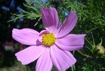Cosmos pink -jen růžová to může být :P