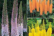 eremerus 'Foxtail Lily'