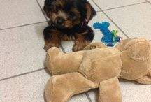 My new baby Milly. / Australian silky terrier.