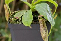 Nepenthes - Highland Tropical Pitcher Plants