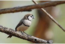 Astrild bělolící - Taeniopygia bichenovii - Double-barred Finch