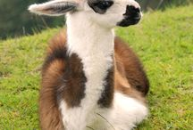 all that is lama