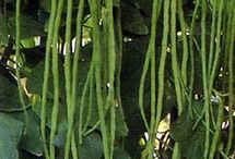 Spicy snake beans
