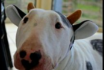 Bull Terrier Funny Pics and Beautiful Photos