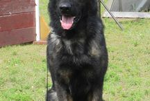 black sable german sheperd