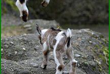 because... goats!
