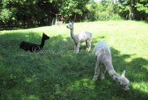 Moutons, alpagas, mohair, ... / Moutons, alpagas, mohair, ...
