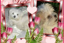 Tisha the Maltese from Schiedam / A really lovely maltese dog...