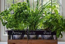 Fűszernövények / Fűszernövények, fűszernövények ültetése, leírása spice garden