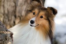 My Sheltie photos