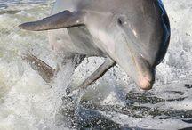 Dolphin  / Love them !!!
