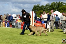 leonberger Sully's big day / leonberger  sully first day showing 4 months , got  4 best puppy in show