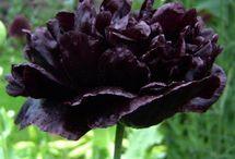 Fekete virágok,növények