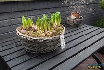 Bolbloemen op pot / Bolbloemen op een pot
